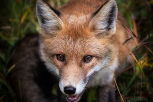 Italian Fox